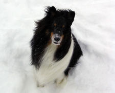 Sheltie_in_the_snow